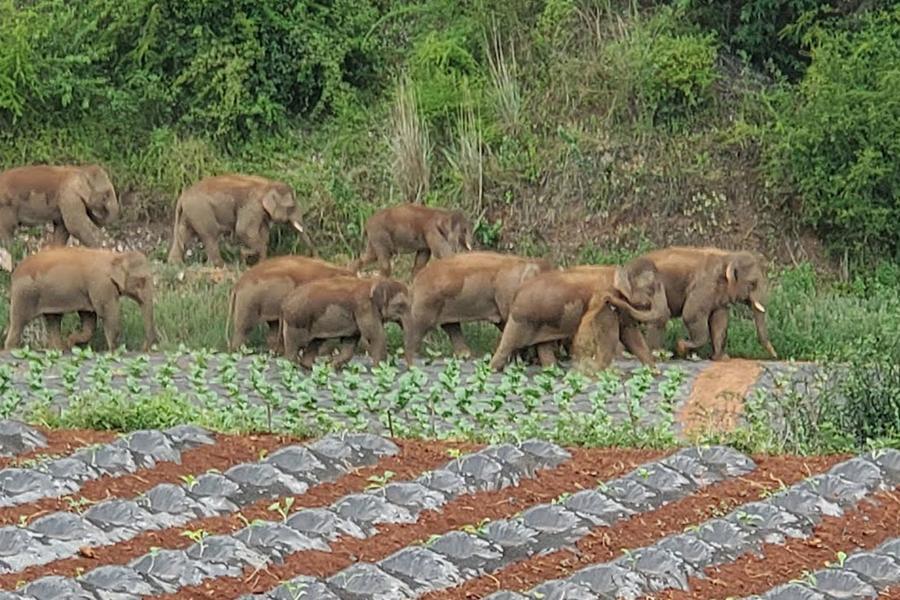 """Đàn voi rừng lang thang bí ẩn ở Trung Quốc thành """"sao"""" thế giới - Ảnh 10."""