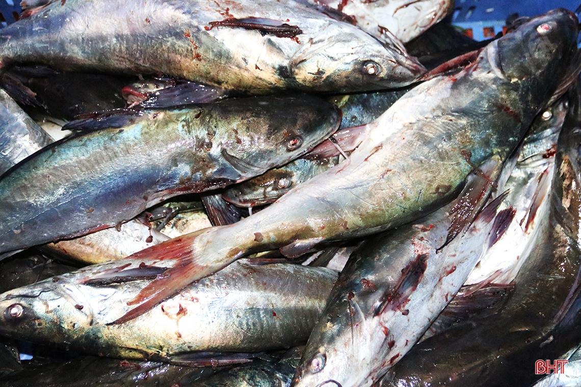 Hà Tĩnh: Hàng chục năm đi biển mới trúng mẻ cá hiếm gặp, ngư dân thu hàng trăm triệu đồng nhờ loài cá quý này - Ảnh 7.