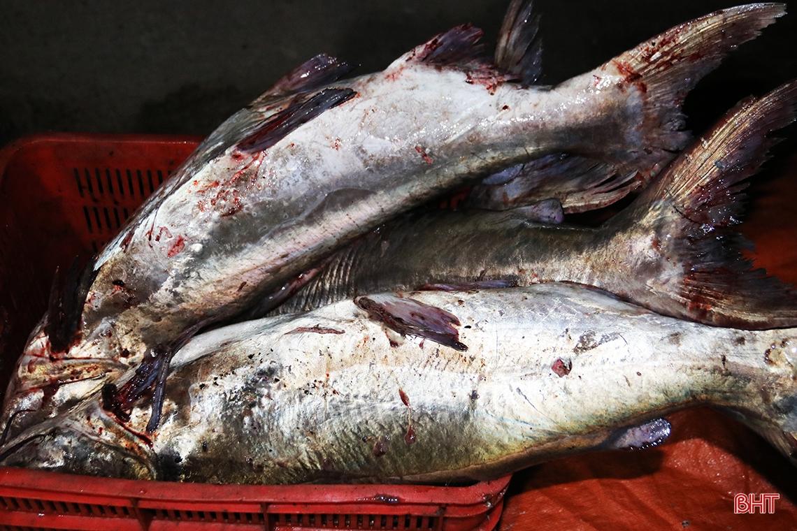Hà Tĩnh: Hàng chục năm đi biển mới trúng mẻ cá hiếm gặp, ngư dân thu hàng trăm triệu đồng nhờ loài cá quý này - Ảnh 10.