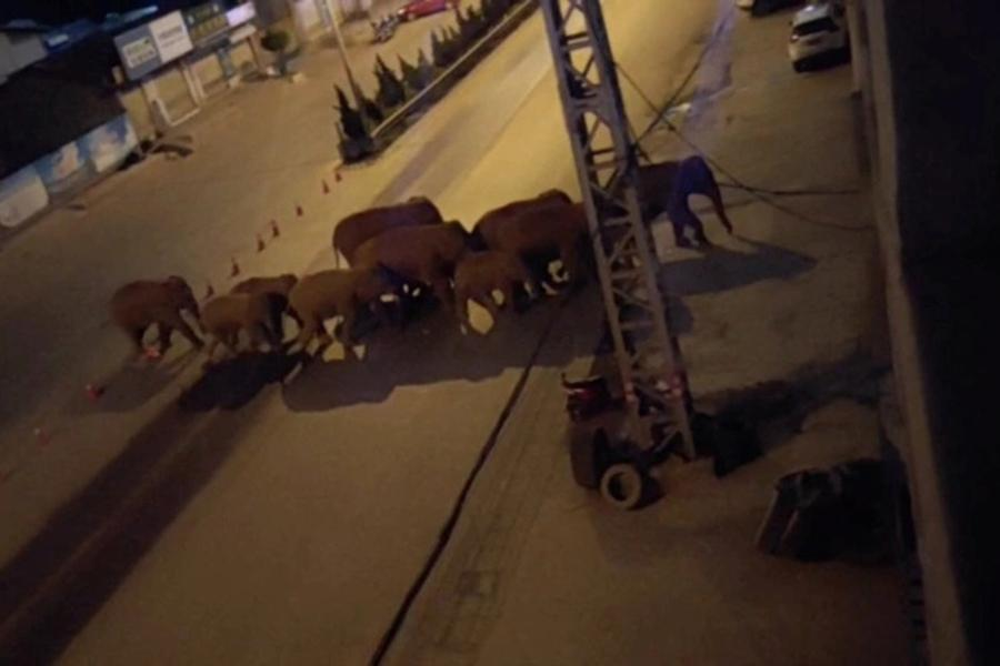 """Đàn voi rừng lang thang bí ẩn ở Trung Quốc thành """"sao"""" thế giới - Ảnh 15."""