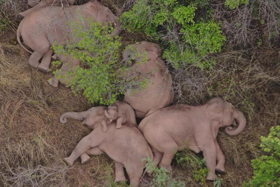 """Đàn voi rừng lang thang bí ẩn ở Trung Quốc thành """"sao"""" thế giới - Ảnh 2."""