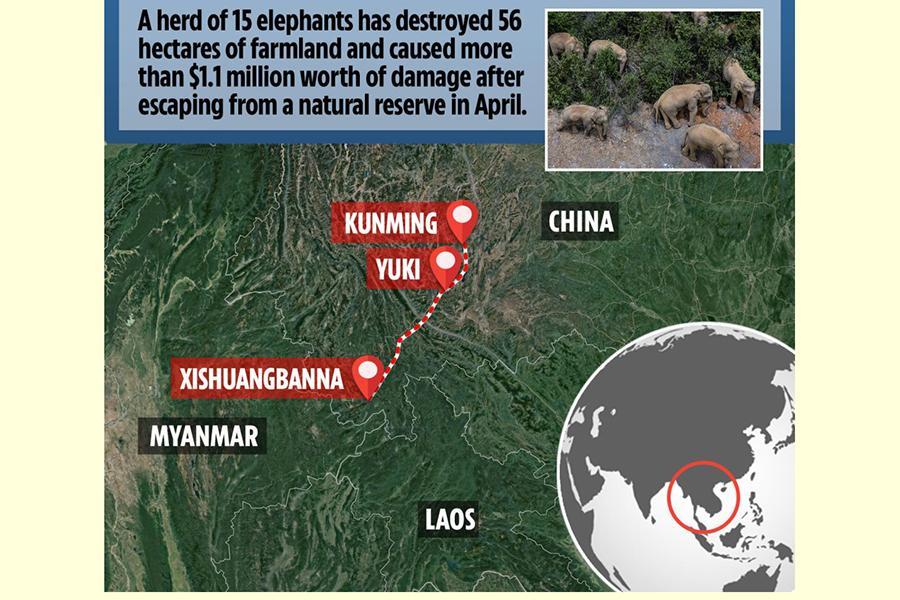 """Đàn voi rừng lang thang bí ẩn ở Trung Quốc thành """"sao"""" thế giới - Ảnh 3."""