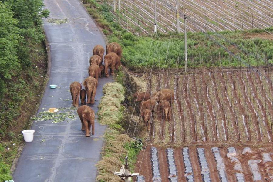 """Đàn voi rừng lang thang bí ẩn ở Trung Quốc thành """"sao"""" thế giới - Ảnh 5."""
