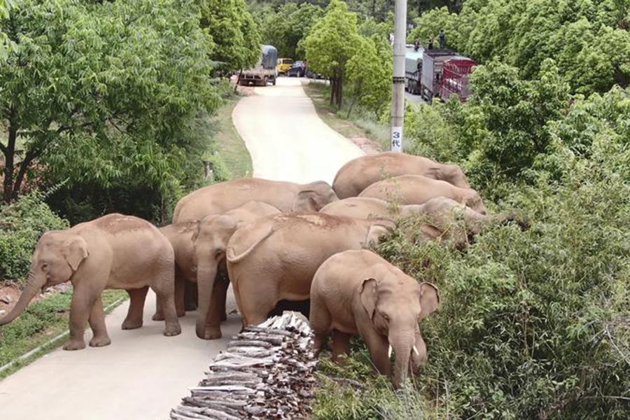 """Đàn voi rừng lang thang bí ẩn ở Trung Quốc thành """"sao"""" thế giới - Ảnh 7."""