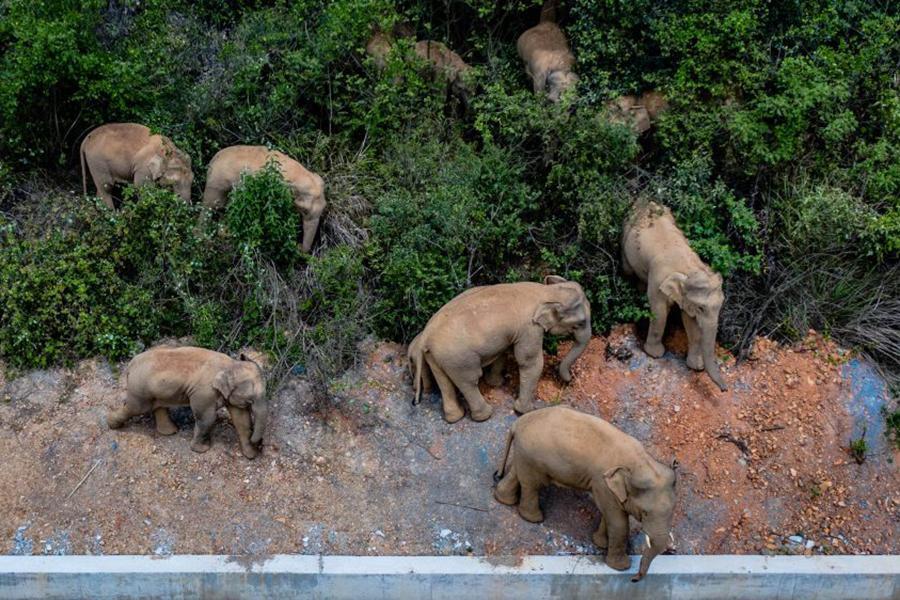 """Đàn voi rừng lang thang bí ẩn ở Trung Quốc thành """"sao"""" thế giới - Ảnh 8."""