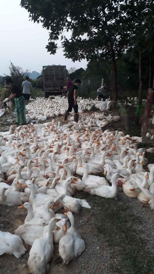 Giá gia cầm hôm nay 9/6: Vịt thịt mỗi nơi một giá, gà công nghiệp tiêu thụ thuận lợi - Ảnh 1.