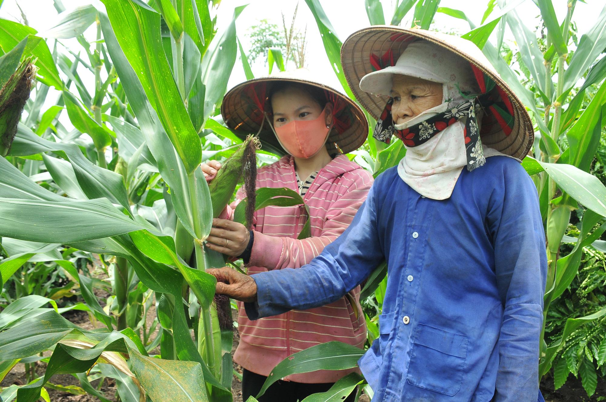 Nông dân chủ động chuyển đổi cây trồng, giảm bớt rủi ro - Ảnh 1.