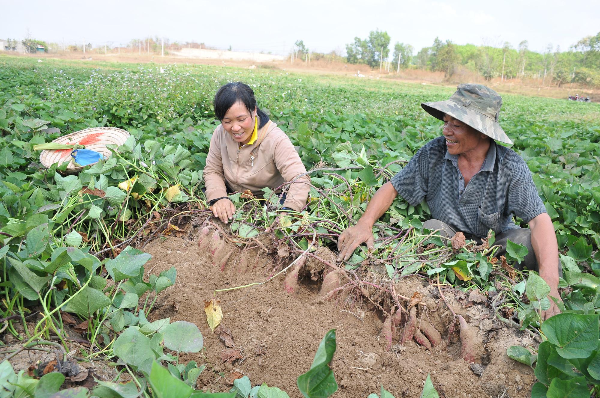 Nông dân chủ động chuyển đổi cây trồng, giảm bớt rủi ro - Ảnh 2.