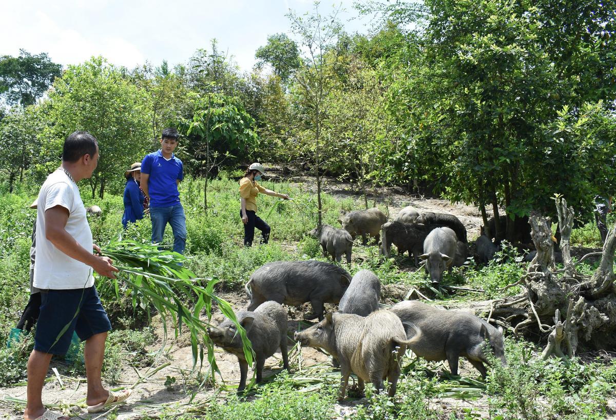 Bắc Kạn: Nuôi lợn rừng thả rông trong vườn rậm, cho ăn toàn thứ rẻ tiền, nhiều người đến xem thấy bất ngờ