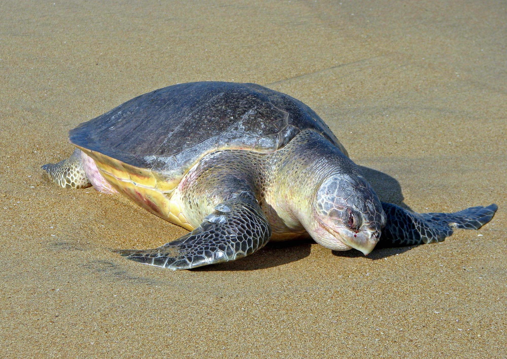 """""""Giải cứu"""" 98 quả trứng của rùa biển quý hiếm - Ảnh 2."""