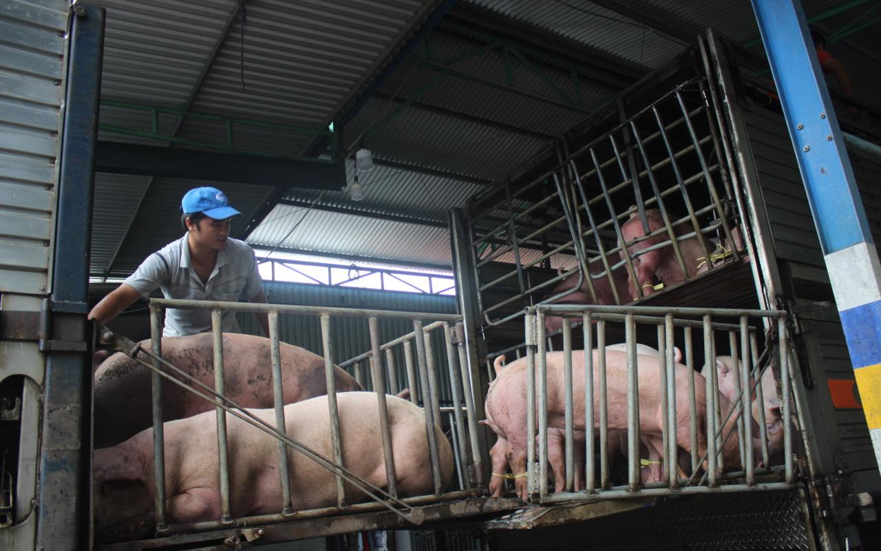 Số lượng heo thịt tỉnh Đồng Nai cung cấp cho thị trường TP HCM giảm hơn 1.000 con/ngày đêm
