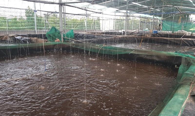 Long An: Nuôi cá đồng công nghệ cao mật độ dày đặc, cứ 1 bể bắt bán 7-8 tấn cá tươi rói - Ảnh 1.