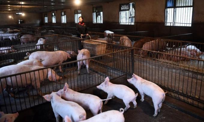 Giá lợn hơi tại Việt Nam giảm sâu, Trung Quốc đối mặt khủng hoảng thừa nguồn cung thịt lợn - Ảnh 2.