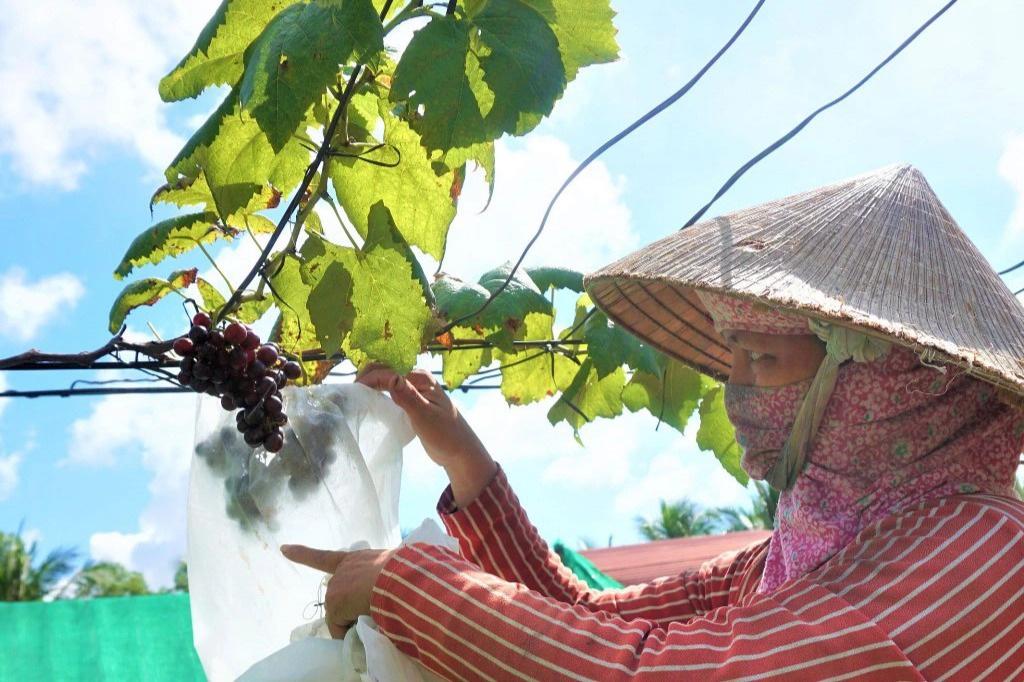 Sóc Trăng: Lạ mà hay, chị nông dân U50 táo bạo trồng nho trên đất nhiễm mặn và cái kết bất ngờ - Ảnh 1.