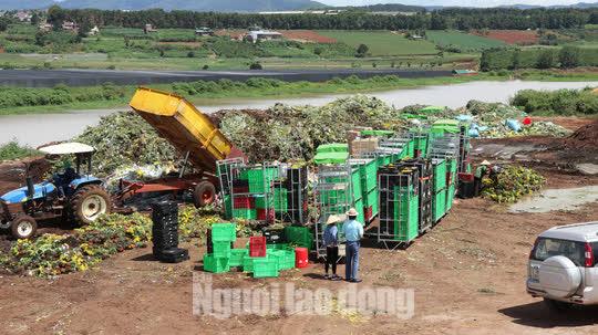 Hàng vạn cành hoa Đà Lạt xuất khẩu sang Úc buộc phải tiêu hủy - Ảnh 1.