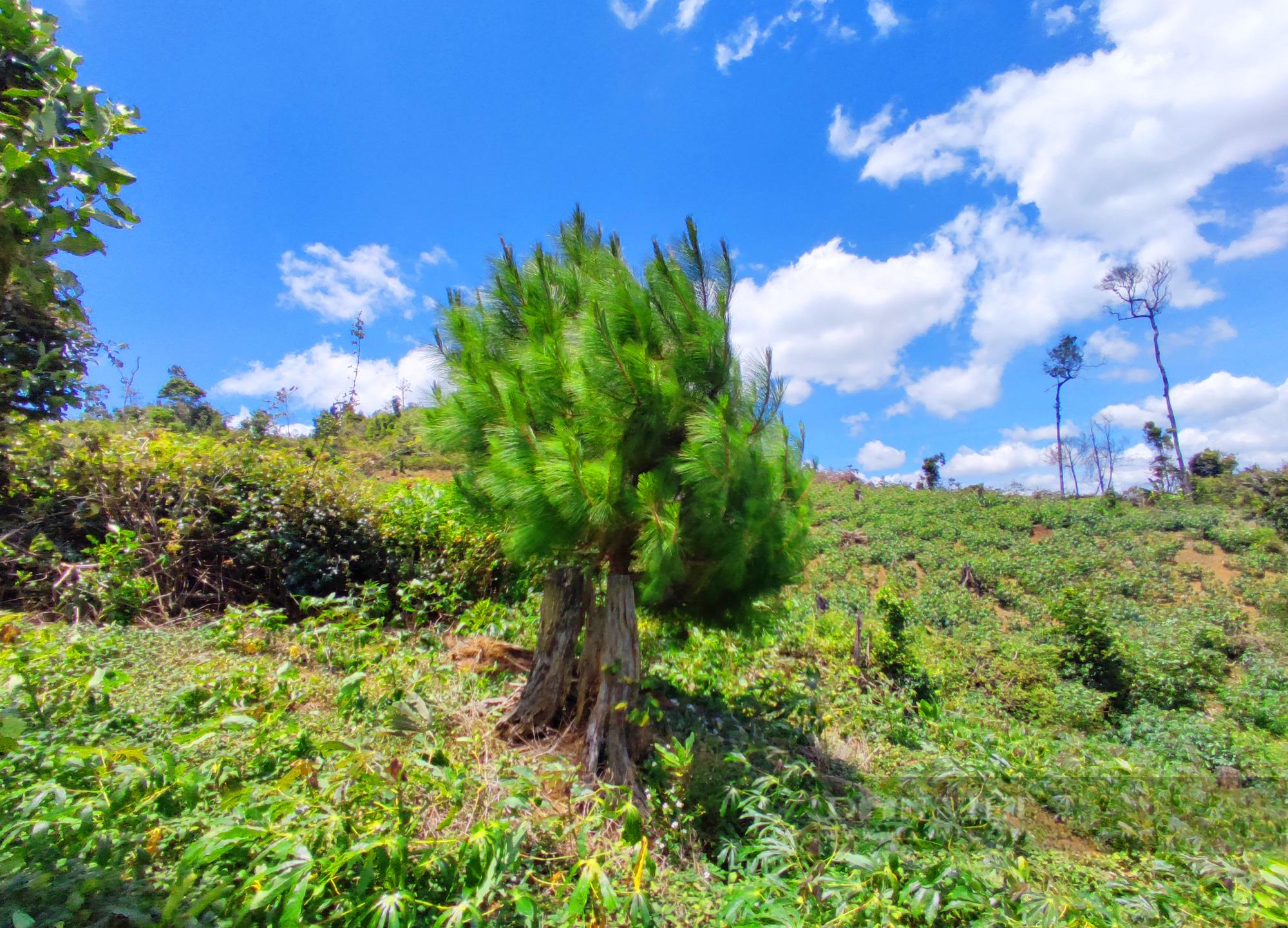 """Vụ trồng hơn 100 ha rừng chỉ còn 1 cây: Tiền dịch vụ môi trường rừng coi như """"ném xuống sông"""""""