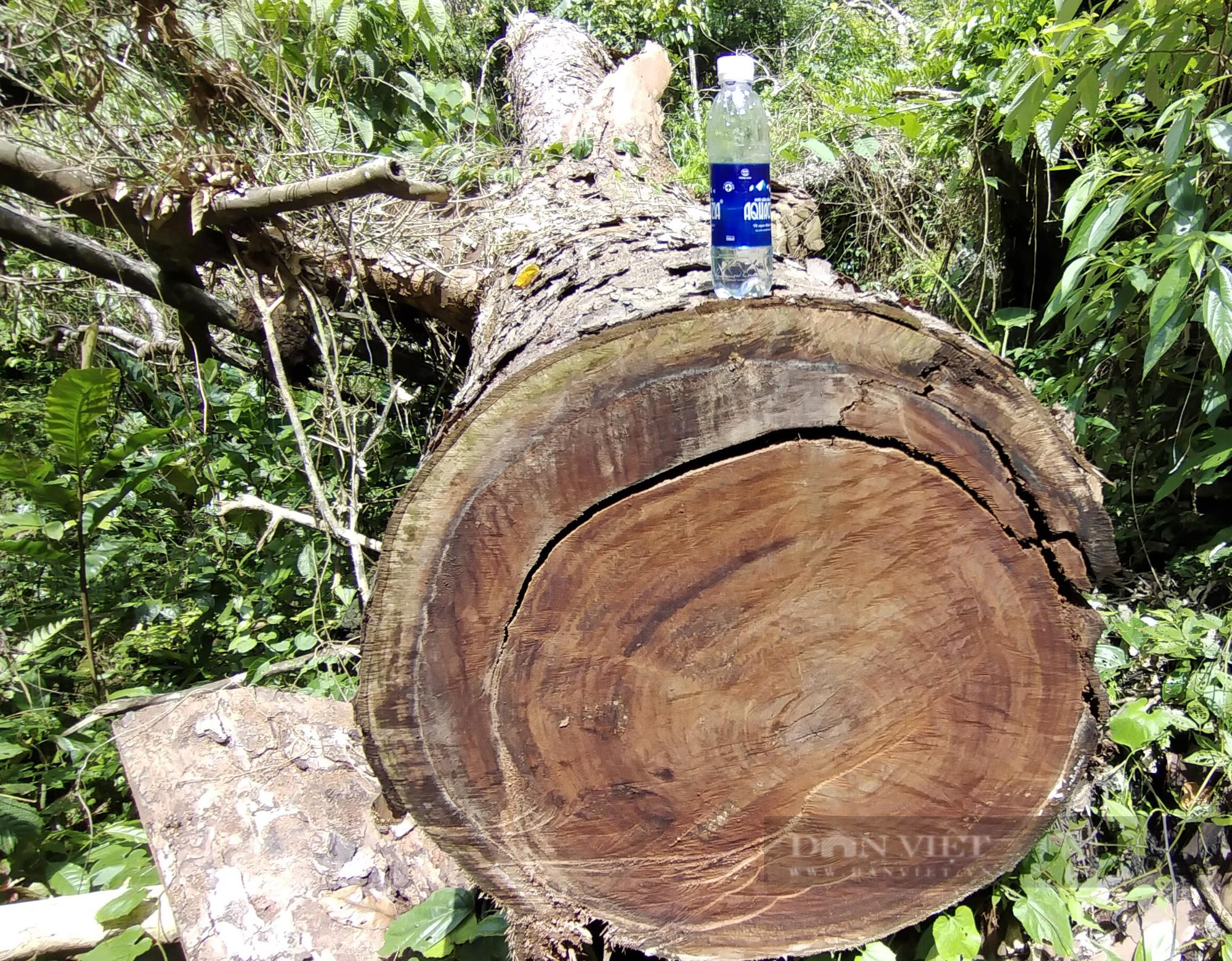 Hà Giang: Sẽ khởi tố vụ phá rừng nghiến tại huyện Bắc Mê - Ảnh 1.