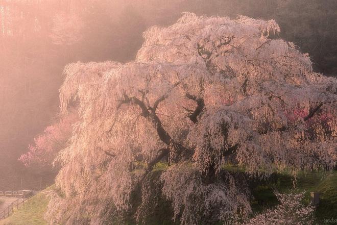Matabei - cây anh đào khóc 300 tuổi nên thơ ở Nhật Bản - Ảnh 1.