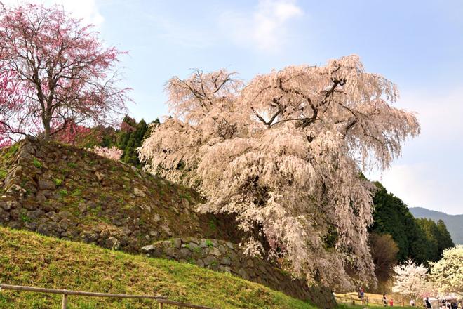 Matabei - cây anh đào khóc 300 tuổi nên thơ ở Nhật Bản - Ảnh 2.