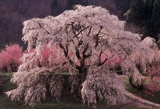 Matabei - cây anh đào khóc 300 tuổi nên thơ ở Nhật Bản - Ảnh 3.