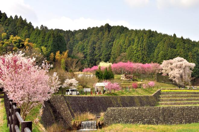 Matabei - cây anh đào khóc 300 tuổi nên thơ ở Nhật Bản - Ảnh 4.