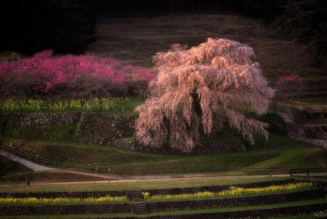 Matabei - cây anh đào khóc 300 tuổi nên thơ ở Nhật Bản - Ảnh 5.