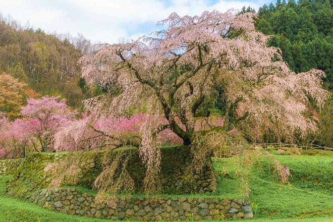 Matabei - cây anh đào khóc 300 tuổi nên thơ ở Nhật Bản - Ảnh 6.