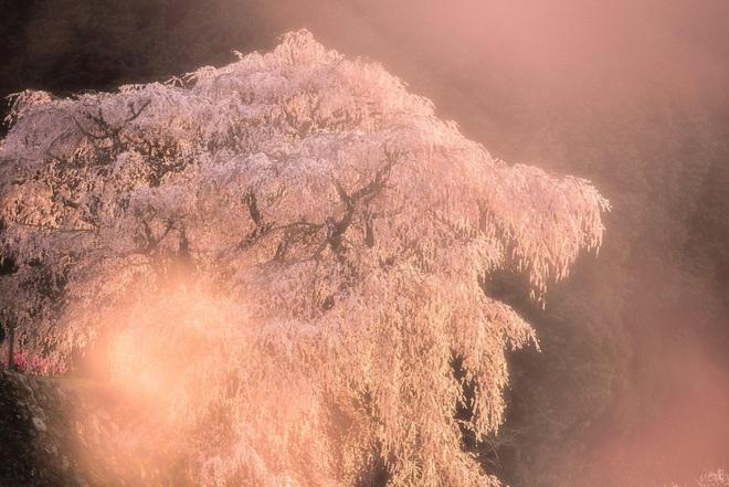 Matabei - cây anh đào khóc 300 tuổi nên thơ ở Nhật Bản - Ảnh 7.