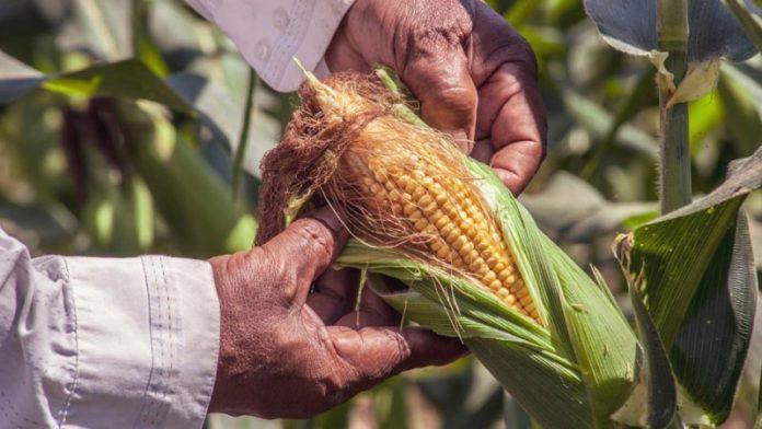 Giá thức ăn chăn nuôi tăng chóng mặt, nhiều nước cho phép nhập ngô biến đổi gen của Mỹ để hạ nhiệt - Ảnh 2.