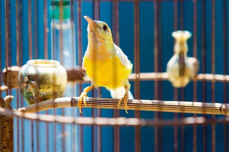 """Đàn chim cảnh 10 tỷ của ông chủ hãng may đô có tiếng ở Hà Nội: Ở điều hòa, có """"bảo mẫu"""" riêng - Ảnh 2."""