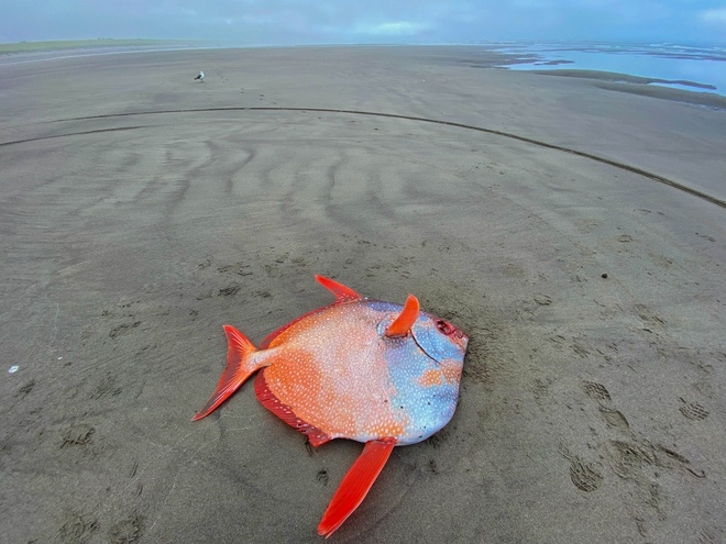 Hiếm: Cận cảnh chú cá mặt trăng khổng lồ dạt vào bờ biển tại Mỹ - Ảnh 1.