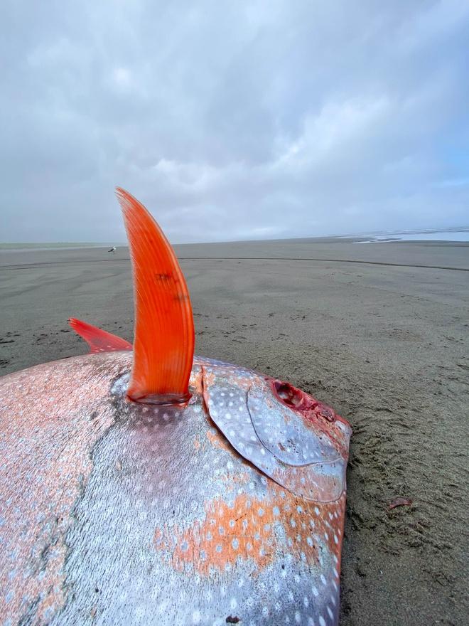 Hiếm: Cận cảnh chú cá mặt trăng khổng lồ dạt vào bờ biển tại Mỹ - Ảnh 4.