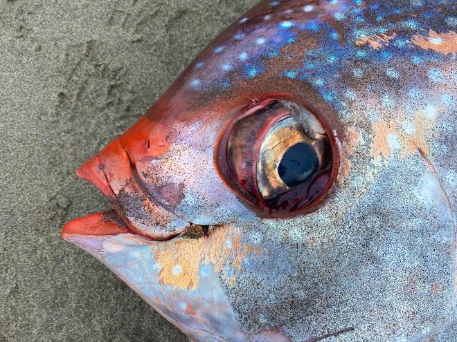 Hiếm: Cận cảnh chú cá mặt trăng khổng lồ dạt vào bờ biển tại Mỹ - Ảnh 5.