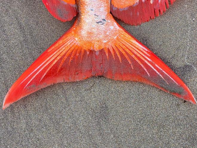 Hiếm: Cận cảnh chú cá mặt trăng khổng lồ dạt vào bờ biển tại Mỹ - Ảnh 6.