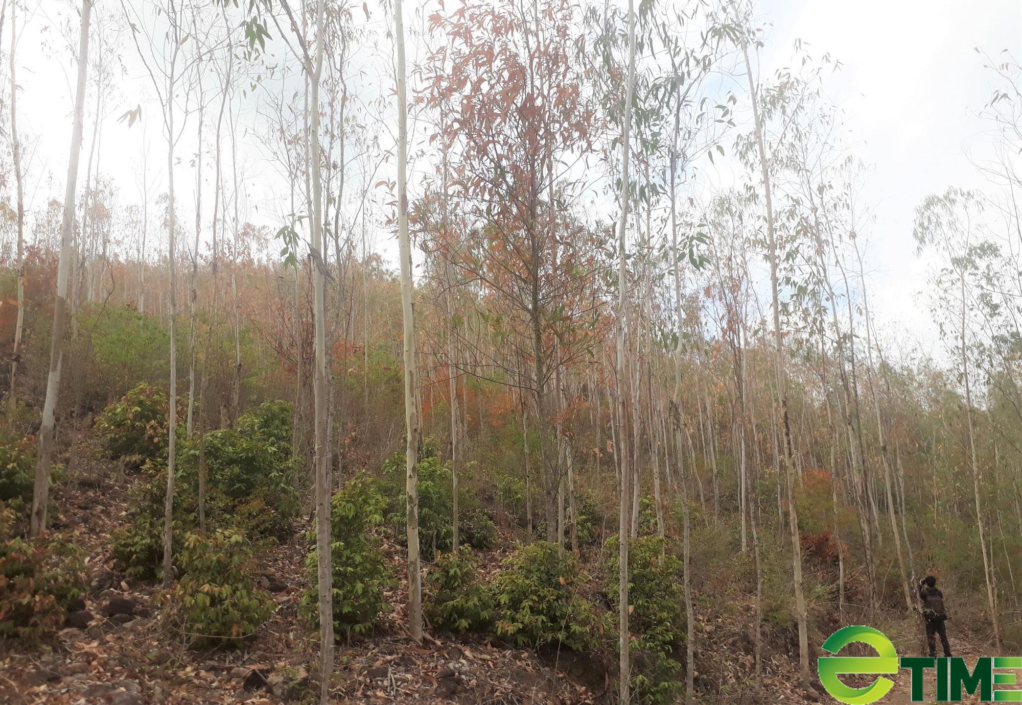 Rừng đang xanh tốt bất ngờ chết khô thành củi do nắng nóng, người trồng lâm cảnh trắng tay - Ảnh 2.