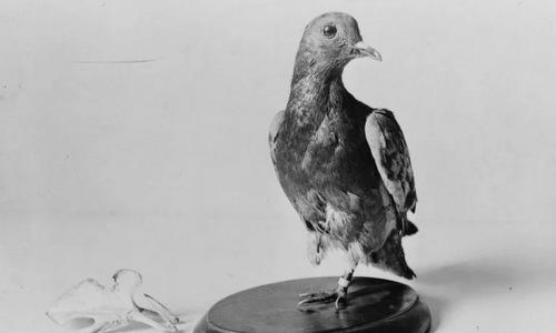 200 lính Mỹ thoát chết trong Thế chiến I nhờ... 1 con chim bồ câu - Ảnh 1.