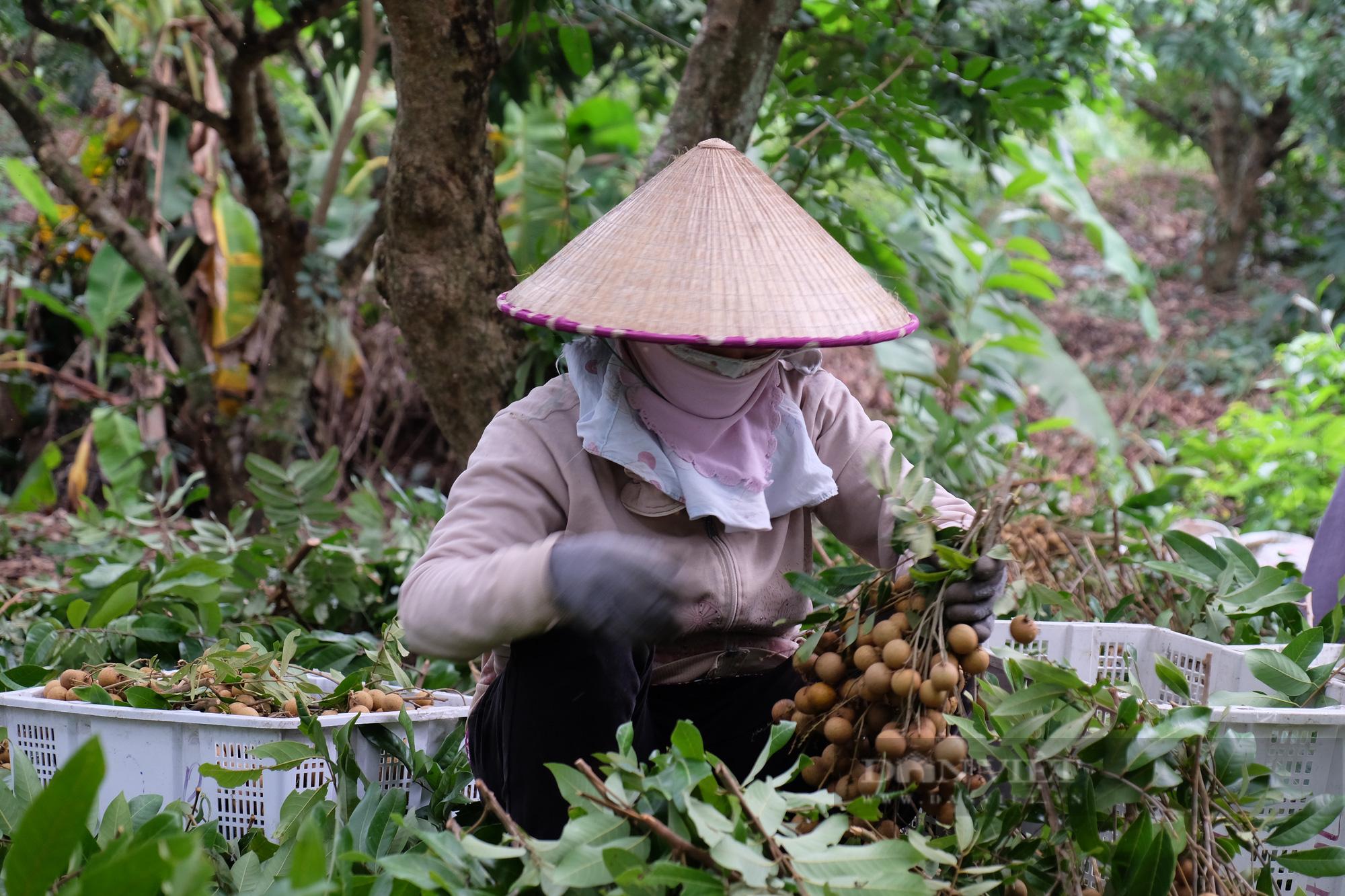 Bà Rịa – Vũng Tàu: Kêu gọi hỗ trợ tiêu thụ 1.390 tấn nhãn xuồng giúp bà con Xuyên Mộc - Ảnh 3.