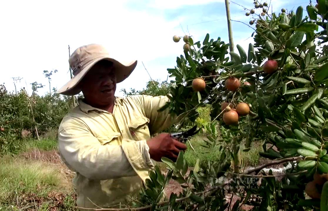 Bà Rịa – Vũng Tàu: Loại trái cây đặc sản muốn ăn phải săn lùng đang chín rộ, giá rẻ bèo - Ảnh 2.