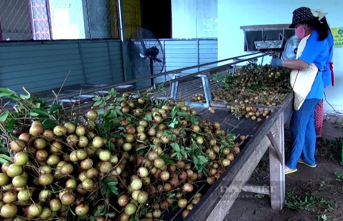 Bà Rịa – Vũng Tàu: Loại trái cây đặc sản muốn ăn phải săn lùng đang chín rộ, giá rẻ bèo - Ảnh 5.