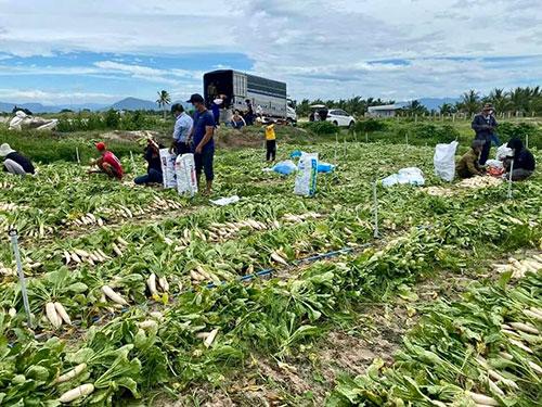Đứng trên ruộng củ cải càng già càng xấu, anh nông dân tỉnh Bình Thuận thở phào khi có người nhổ hộ - Ảnh 1.