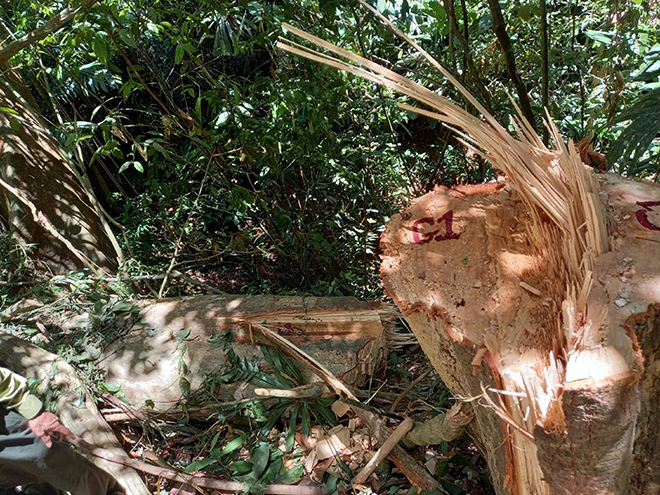 Vì sao ở một số tỉnh miền Trung cứ đến mùa trái rừng đặc sản này bay trong gió lại có kẻ mừng, người lo? - Ảnh 8.