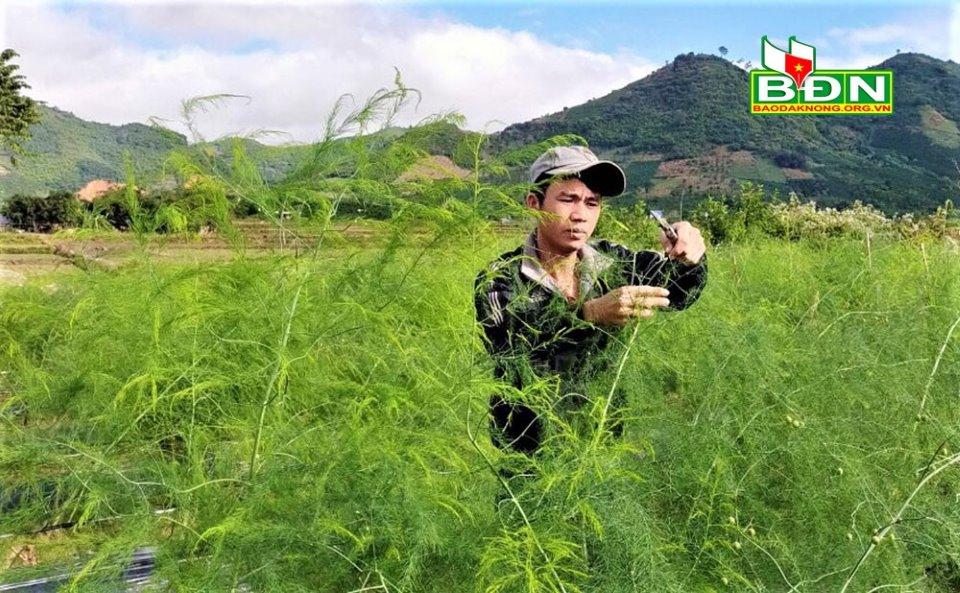 """Trồng """"vua của các loại rau"""", nông dân ở một xã vùng sâu tỉnh Đăk Nông hái ra tiền - Ảnh 1."""