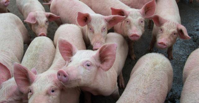 Trung Quốc ngăn chặn giá lợn hơi biến động mạnh - Ảnh 1.