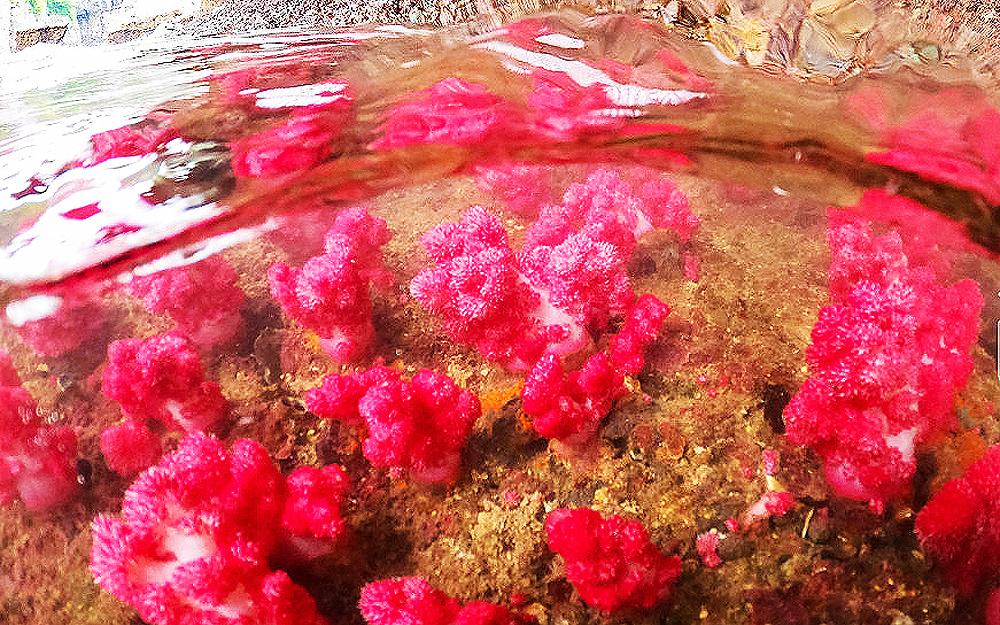 """Quảng Ninh: Chiêm ngưỡng những """"con"""" san hô đủ màu sắc đang hồi sinh mạnh mẽ ở vịnh Hạ Long - Ảnh 9."""