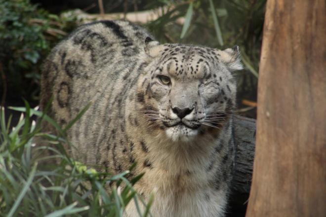 Một chú báo quý hiếm ở vườn thú Mỹ nhiễm virus Covid-19 - Ảnh 3.