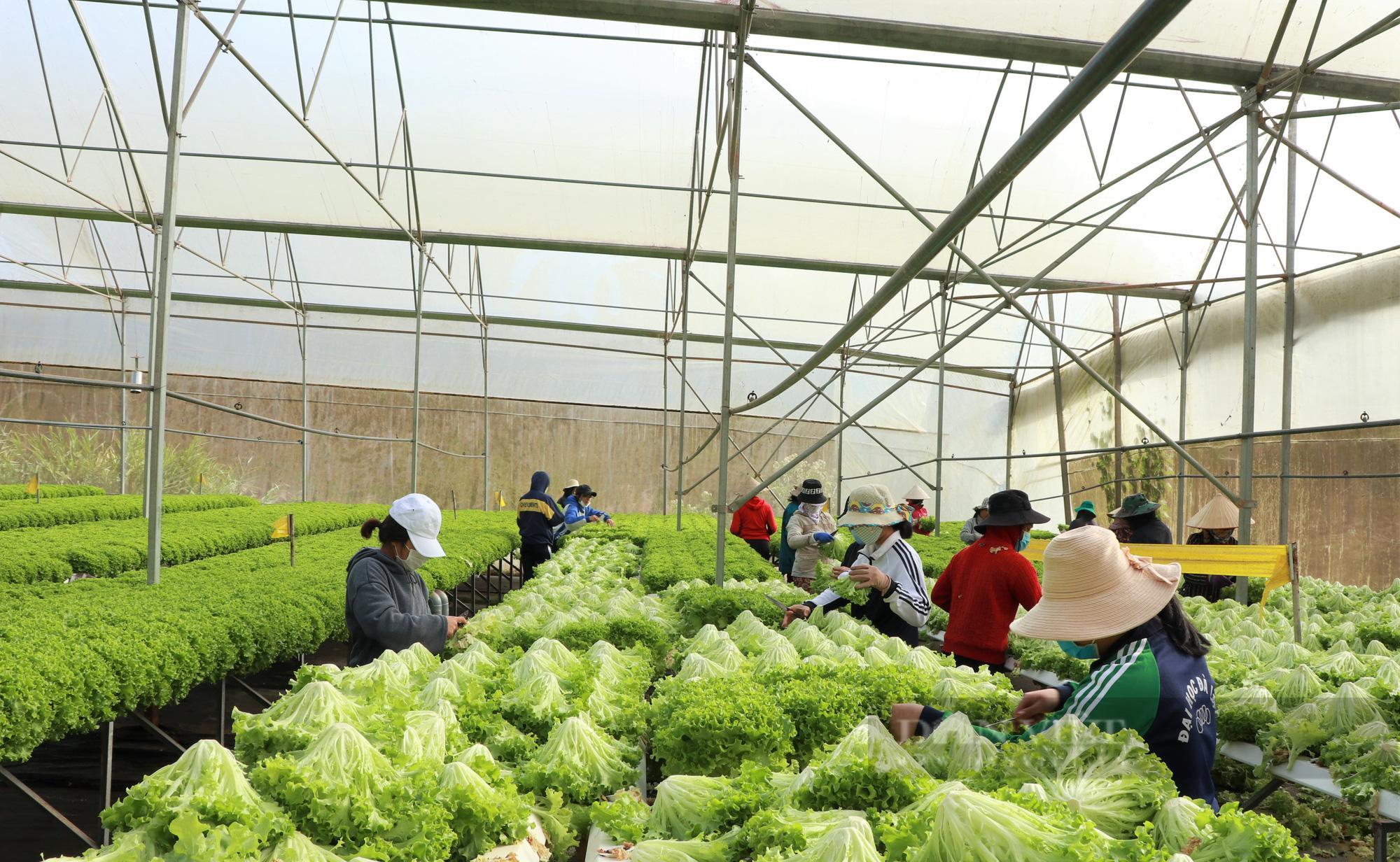 """""""Dũng cao"""" làm nông nghiệp công nghệ cao, xuất khẩu hàng trăm tấn rau xà lách đi Hàn Quốc - Ảnh 2."""