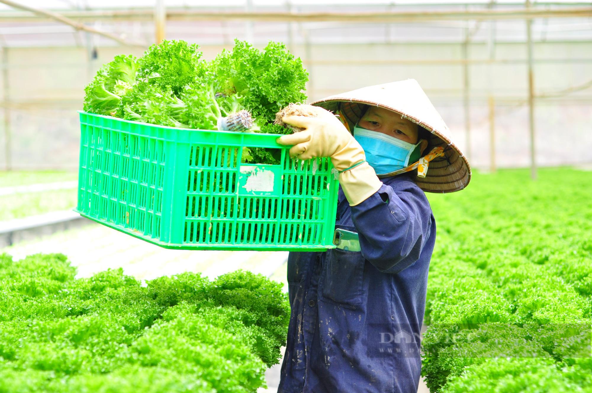"""""""Dũng cao"""" làm nông nghiệp công nghệ cao, xuất khẩu hàng trăm tấn rau xà lách đi Hàn Quốc - Ảnh 5."""