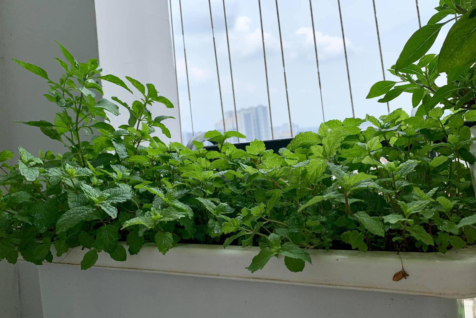 Ban công 7m2 vẫn đủ rau ăn cho cả nhà trong mùa dịch giãn cách ở Hà Nội - Ảnh 9.