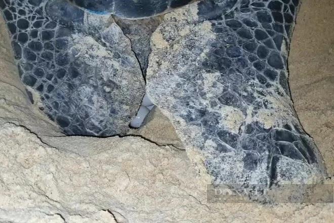 Bình Định: Rùa biển quý hiếm bất ngờ vào bờ, đẻ được 99 quả trứng - Ảnh 2.