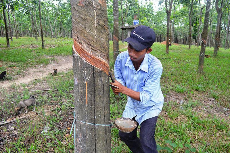 Quảng Trị: Loài cây suốt 10 năm trời mất giá chán chê, nay dân cứ xách thùng ra vườn là có tiền triệu - Ảnh 1.